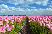 Pink Tulip Fields In Sprind