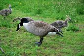 Family of Canadian Geese Feeding in Spring