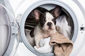 French bulldog puppy inside the washing machine