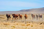 The herd of magnificent bay mustangs galloping in the Patagonian plains. Argentina, summer
