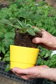 Putting Strawberry Into Flowerpot