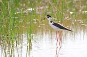 Black-necked Stilt Standing In Water