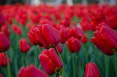 Xi'an Xingqinggong Tulips