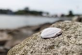 Clamshell On Rock