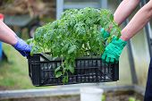 Gardeners Carries Box With Tomatoes