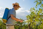 foto of orchard  - Agricultural worker in a citrus plantation spraying pesticide - JPG