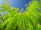 picture of weeping willow tree  - Weeping willow tree - JPG