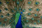 pic of peahen  - peacock bird dance to attract a peahen - JPG