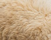 Textured Of Wool Sheep Closeup