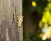 Exoskeleton of a cicada - Summer in the south of France
