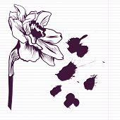 Ink drawing daffodil