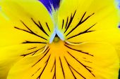 Pansy Yellow Flower macro view