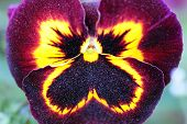 picture of stellar  - Maroon-yellow Pansy Flower calyx with pollen, looks like stellar sky