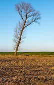 Tree At The Edge Of A Stubble Field