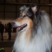 Portrait Of A Shetland Sheepdog At The International Dogs Exhibition Of Milan, Italy