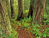 Redwood Forest3
