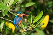 picture of malachite  - A Malachite Kingfisher  - JPG
