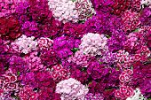 Picture of sweet william flowers.