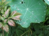 stock photo of nasturtium  - Dew drops on a garden nasturtium leaves - JPG