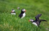 Puffins Of Faroe Islands