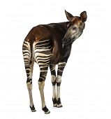 Rear view of an Okapi licking, Okapia johnstoni, isolated on white