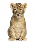 Lion cub sitting, looking at the camera, 7 weeks old, isolated on white