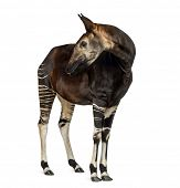 Okapi standing, looking back, Okapia johnstoni, isolated on white