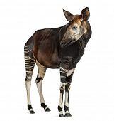 Okapi standing, looking away, Okapia johnstoni, isolated on white