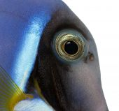 Close-up of a Powder blue tang's head, Acanthurus leucosternon, isolated on white