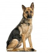 Old skinny German Shepherd dog sitting, looking at the camera, isolated on white