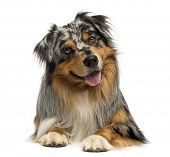 Australian shepherd blue merle, lying, panting, 4 years old, isolated on white