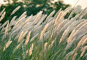 white reed