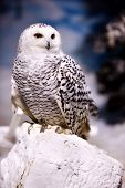picture of snowy owl  - Snowy owl sits on a rock - JPG