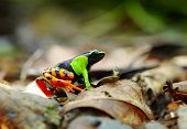 Beautiful Mantella (Mantella pulchra) endemic species of frog in Madagascar
