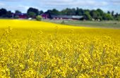 stock photo of rape-seed  - yellow field with oil seed rape in early spring - JPG
