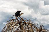 Shag(cormorant)
