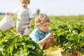 Two Little Twins Boys On Pick A Berry Farm Picking Strawberries In Bucket
