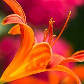 Orange Daylily In Side Angle View