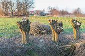 Three Newly Pollarded Willows