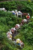 A Shepherd With A Caravan Of Donkeys Carrying Supplies In The Himalayas