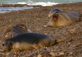 Seals in Action on Atlantic Coast