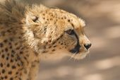 Close-up Of A Wild Cheetah
