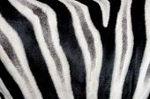 The structure of zebra skin