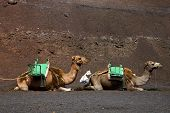picture of dromedaries  - brown dromedary bite in the volcanic timanfaya lanzarote spain africa - JPG