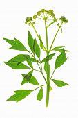 Lovage (Levisticum officinale)