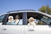 Dog's Family Enjoying In The Car