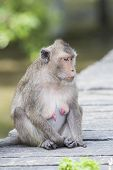 Face Of  Long-tailed Macaque, Crab-eating Macaque Show Nipple Breast