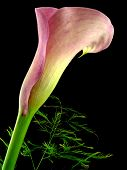 calla with green