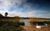 A Swan Beside Slapton Ley Torcross Devon