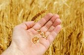 grain of wheat in hand on field